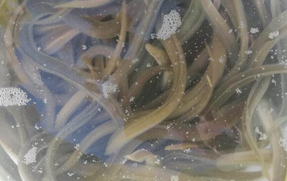 Suelta de anguilas en el río Sellent