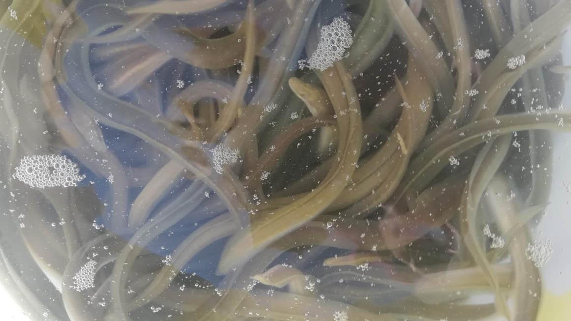 Solta d'anguiles al riu Sellent